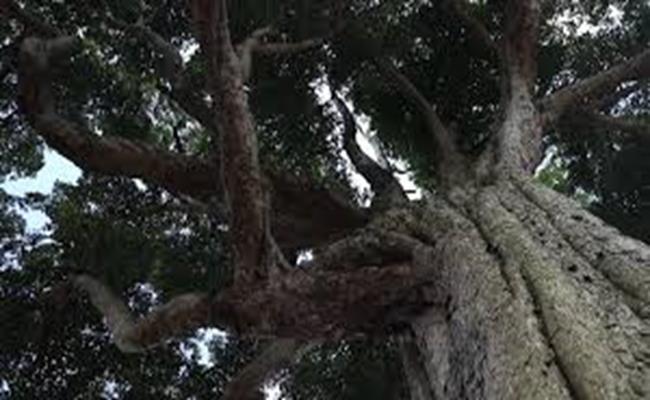 Các chuyên gia thẩm định gỗ cho biết, khúc gỗ này có nguồn gốc từ Ya'an ở tỉnh Tứ Xuyên, được ngâm trong nước khoảng 400 năm. Có khả năng khúc gỗ đã bị đánh rơi trong quá trình vận chuyển từ Tứ Xuyên sang Bắc Kinh để phục vụ cho việc xây dựng cung điện triều Minh.