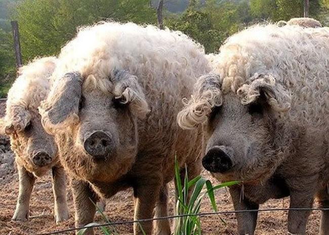 """Nhìn bên ngoài chúng xấu xí, song loài lợn này được nhiều người ưa thích và nó trở thành """"báu vật""""."""