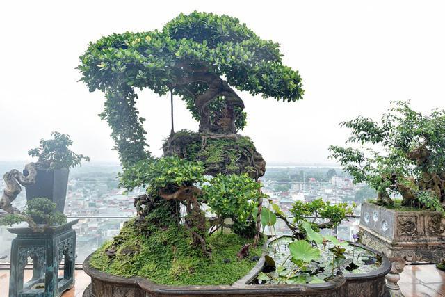 """Ngắm cây si """"Thạch Sanh"""" không phải cứ có tiền là mua được - 1"""