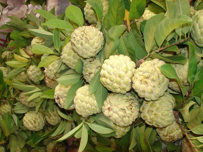 Quả na là một trong những loại quả đặc sản ở Việt Nam, được nhiều người yêu thích bởi vị ngọt và lớp thịt dai, thơm. Mùa na khoảng tầm tháng 8-9 hàng năm, giá giao động từ 30-60 nghìn đồng/kg tùy loại và tùy kích thước.