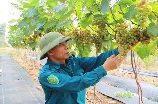 Mới được đưa vào trồng nhưng giống cây này đã mang về nguồn lợi lớn cho người trồng. Tuy nhiên, cây trồng này không dành cho người lười.