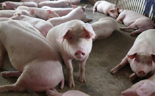 """Lợn hơi đột ngột tăng giá: Đến thời thịt lợn """"đắt như vàng"""" trở lại? - 1"""