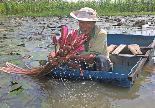 Bên cạnh đó, nhiều người kết hợp trồng súng ở trên để che, nuôi cá ở dưới vừa có súng để bán vừa thu được nguồn cá để bán ra thị trường.