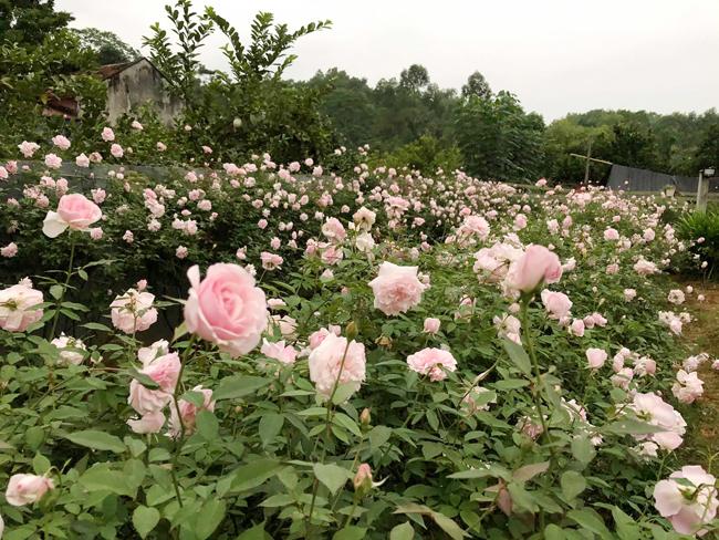 Qua tìm hiểu, chị nhận thấy trà hoa hồng rất tốt cho sức khỏe nên chị thử làm để bản thân uống.