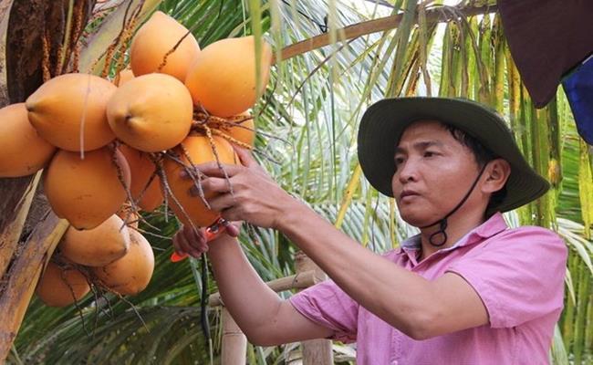 Do ưu điểm về ngoại hình lẫn chất lượng nên loại dừa này đang rất được thị trường ưa chuộng. Trong ngày thường, giá dừa trung bình rơi vào khoảng 20.000 – 30.000 đồng/trái. Vào dịp lễ tết, dừa hai màu có giá rất cao, từ 50.000 - 150.000 đồng/trái.