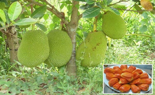 """Đây là giống mít """"siêu sớm"""", trồng 18-24 tháng là có trái, trọng lượng từ 7-15kg/trái. Khi mít chín, ruột có màu đỏ như màu gạch nung, cơm dày, mùi vị ngọt giòn, thơm dịu…"""