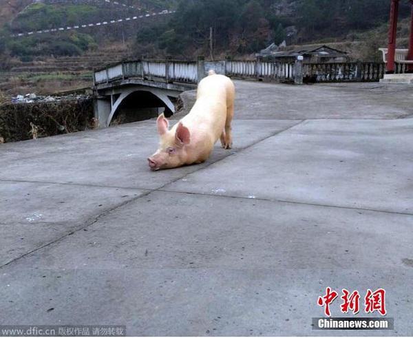 """Clip chú lợn quỳ gối hàng tiếng đồng hồ trước cửa chùa khi bị bắt tới lò mổ khiến dân mạng """"dậy sóng"""" - 1"""