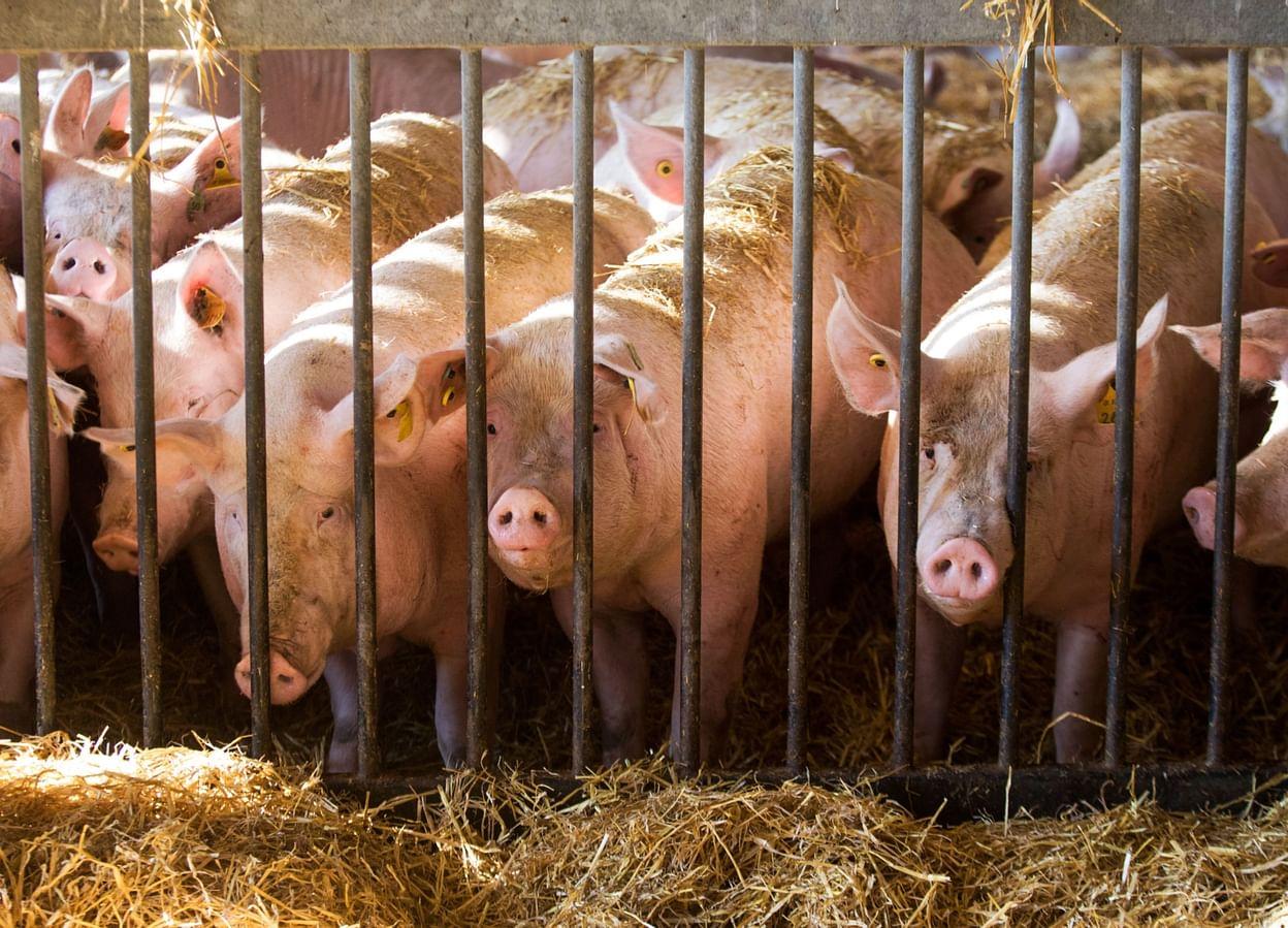 """Châu Á đang thiếu hụt, châu Âu vẫn """"chất đống"""" thịt lợn, giá giảm siêu mạnh - 1"""