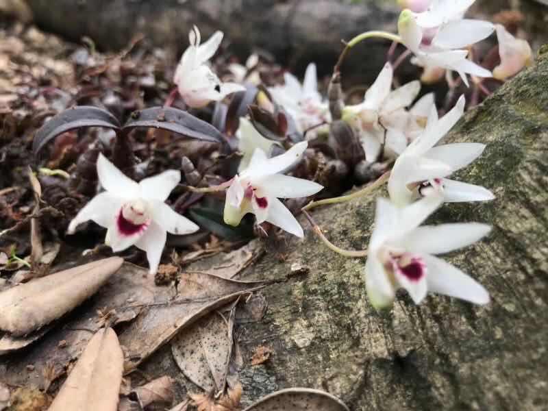 Lần đầu tiên tìm thấy hoa lan Hoàng Thảo Thạch Hộc Tía đột biến ở vực thẳm - 1