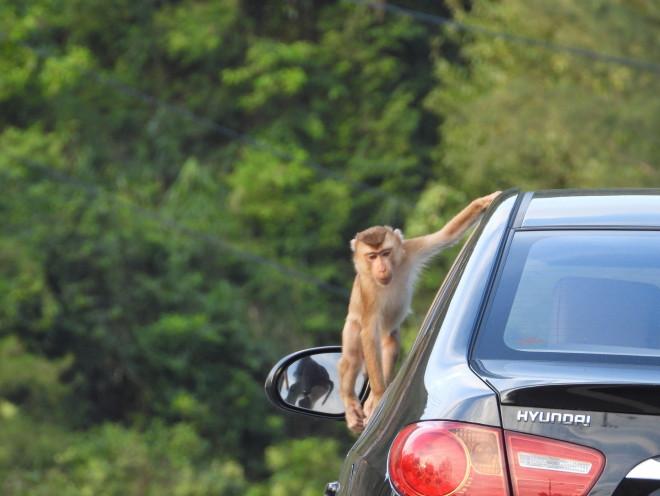 Khỉ Sơn Trà kéo nhau ào xuống đường giành giật thức ăn - 1