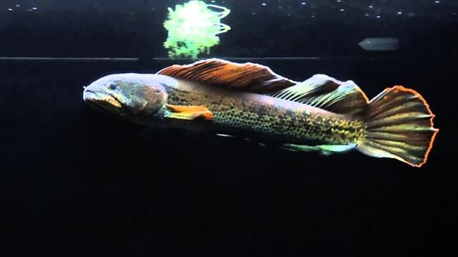 Cá lóc hoàng đế ăn các loại thức ăn có ngoài tự nhiên như cá nhỏ, dế, sâu… nhưng người chơi có thể dùng thức ăn dạng viên công nghiệp cho cá ăn được bình thường.