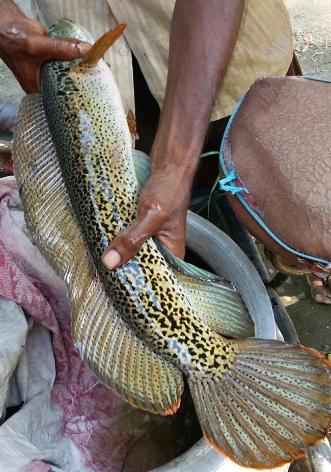 Loài cá này có thể chịu được sự thay đổi về nhiệt độ, nồng độ oxy của môi trường sống.