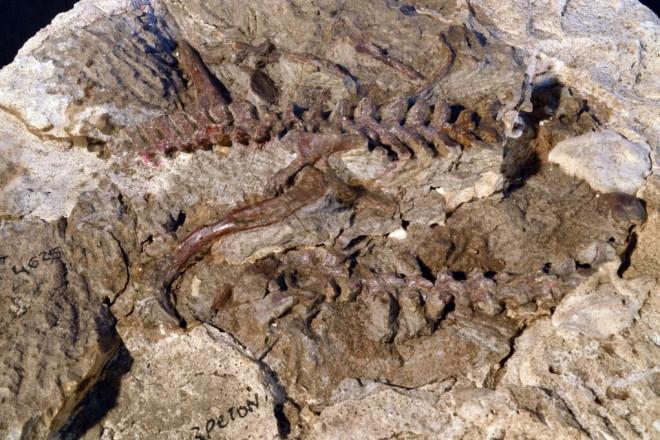 """Kinh ngạc hóa thạch sinh vật """"biến hình"""" dở dang thành quái thú bay - 1"""