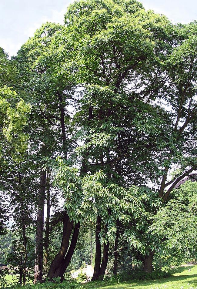 Trong số muôn vàn cây lá của núi rừng thì có lẽ cây hạt dẻ gần gũi và để lại nhiều ấn tượng hơn cả.
