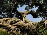 """Ngắm cây sanh cổ thế hình kim quy cõng rồng được """"chào giá"""" tiền tỷ"""